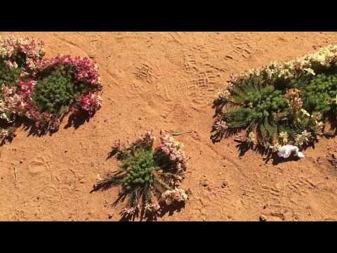AWESOME Wreath Flowers, Mullewa Region, WA.  Aug  2016. Best Season Ever.