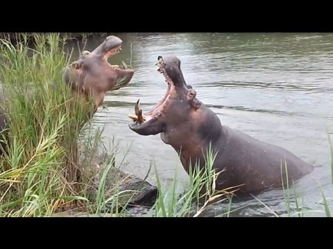 Hippos Fighting For Dominance