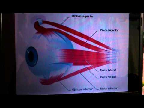Anatom a cabeza pares craneales iii iv y vi doovi for Cuarto par craneal