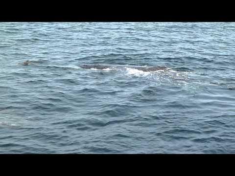 Humpbackwhale Offshore Angola