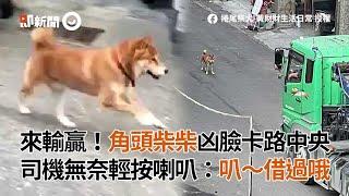 角頭柴犬擋路中央當路霸 卡車司機無奈輕按喇叭|寵物|狗|可愛|看新聞