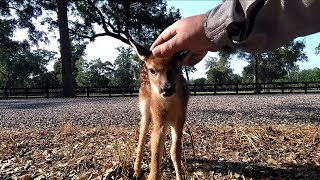 Baby Deer Fawn (Friends if but for a moment)