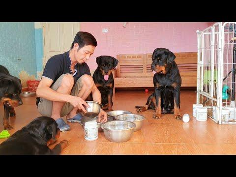Bổ sung canxi cho chó đẻ-chó bầu thế nào tốt? Bữa ăn chó Rottweiler Gervi