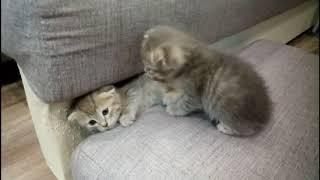 Самые милые котята. Шотландские вислоухие котята.