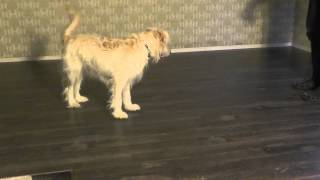 You Can't Fool Ally The Goldendoodle Dog With A Laser Pointer. Animals Chasing Lasers.