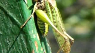 parazita szöcske)