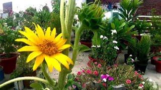 #Deadheading Gardening Tips 🌻 ज्यादा फूल पाने के लिए Do #Sunflowers Bloom more than once Hindi