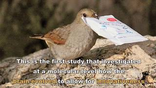 Brain genes related to innovation revealed in birds thumbnail