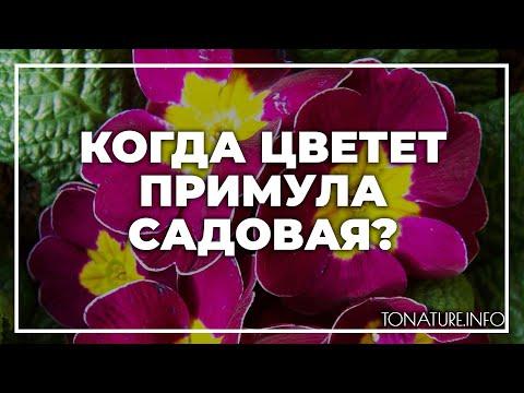 Когда цветет примула садовая? | toNature.Info