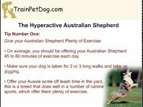 Is Your Australian Shepherd Dog Hyperactive?