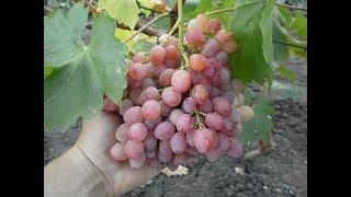 видео Виноград Лучистый