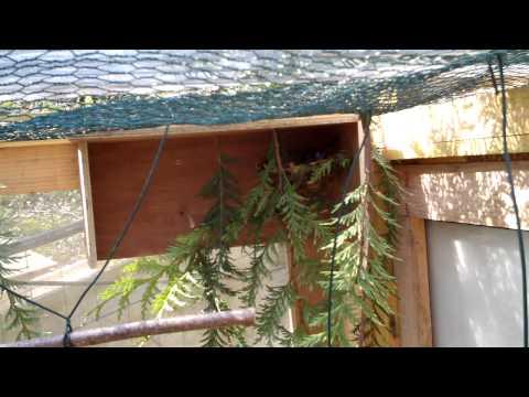bouvreuil pivoine en volière