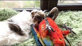 kitten Thomas and parrot Archie are lazy) котенок Томас и попугай Арчи - лежебоки ) home zoo.