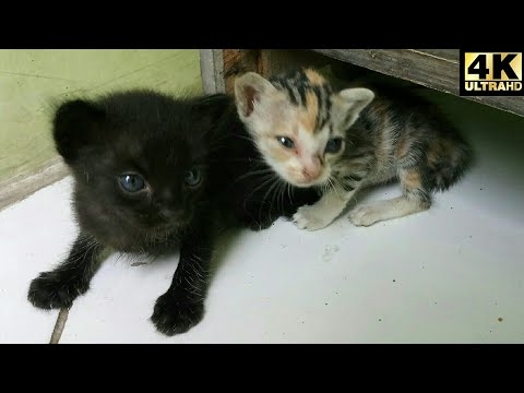 Two Rare Colors of Kitten Cats in Each Birth (4K Ultra HD)