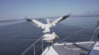 Transatlantic sailing.  Dodging ships in the fog. Boarded by Pelicans and Seals in Namibia.