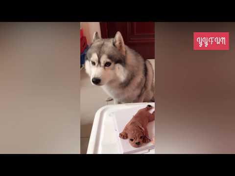 搞笑狗狗 | 哈士奇與二哈的區別第三波:拆家之後的反應居然是這樣的......論戲精狗狗是怎樣誕生的