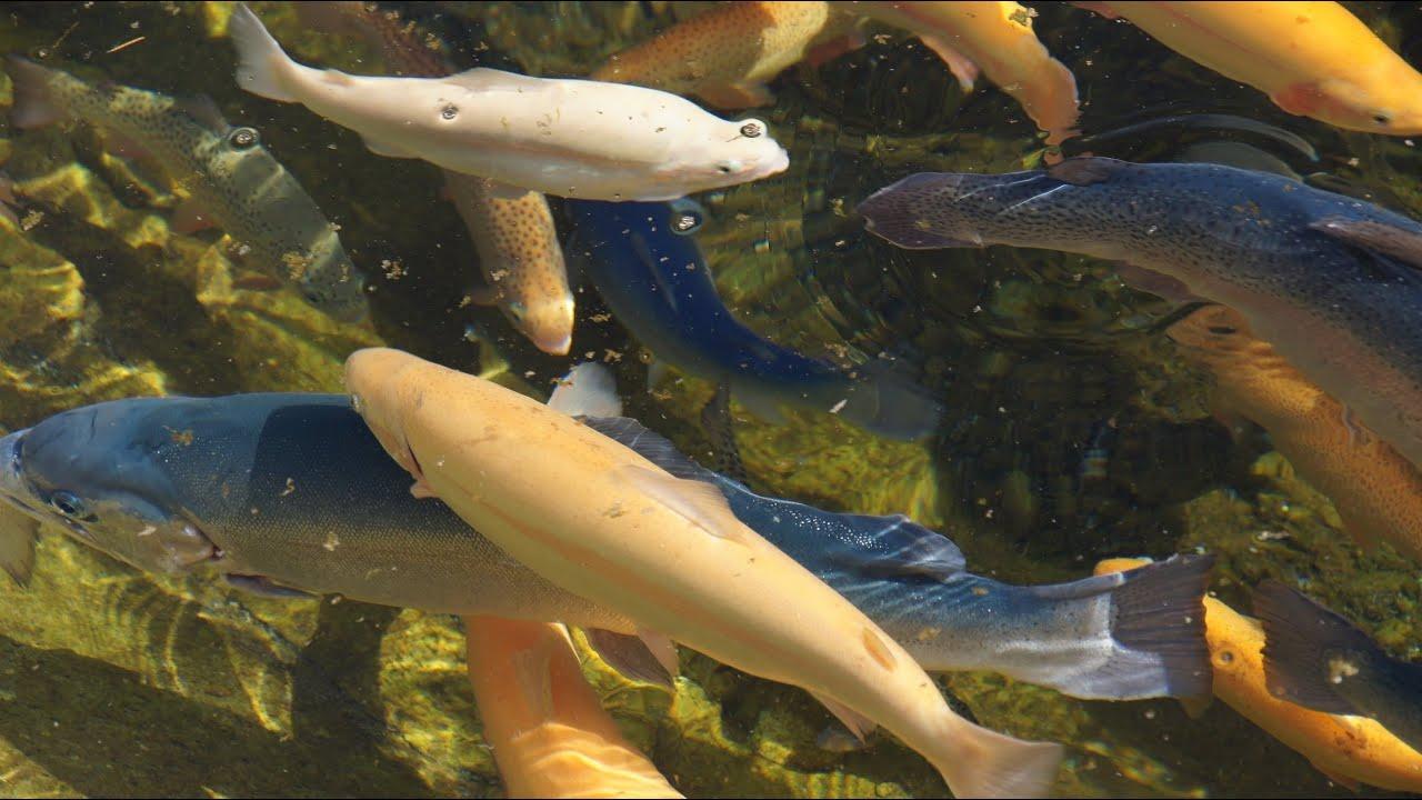форелевое хозяйство «Адлер» Сочи пруд для разведения рыбы - экскурсия