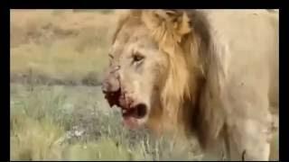 LEW vs ZEBRA - chyba coś poszło nie tak