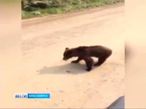 На дороге под Северо-Енисейском к машинам вышел медвежонок