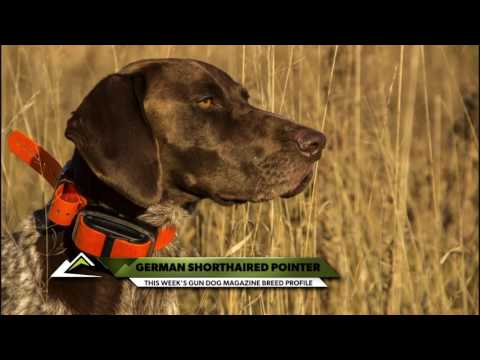 German Shorthaired Pointer Profile