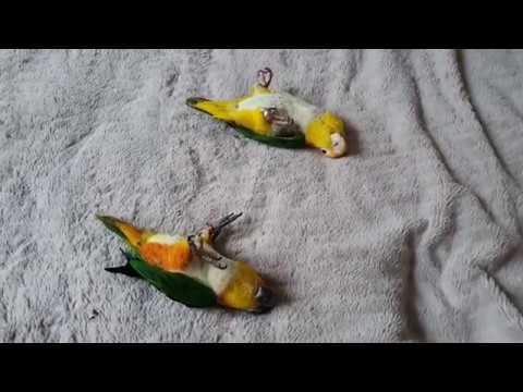 Caique Parrots Playing Dead/Papugi udają  martwe