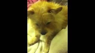 Kuma The Cairn Terrier/chihuahua