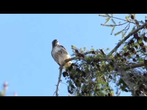 Red tail hawk scream