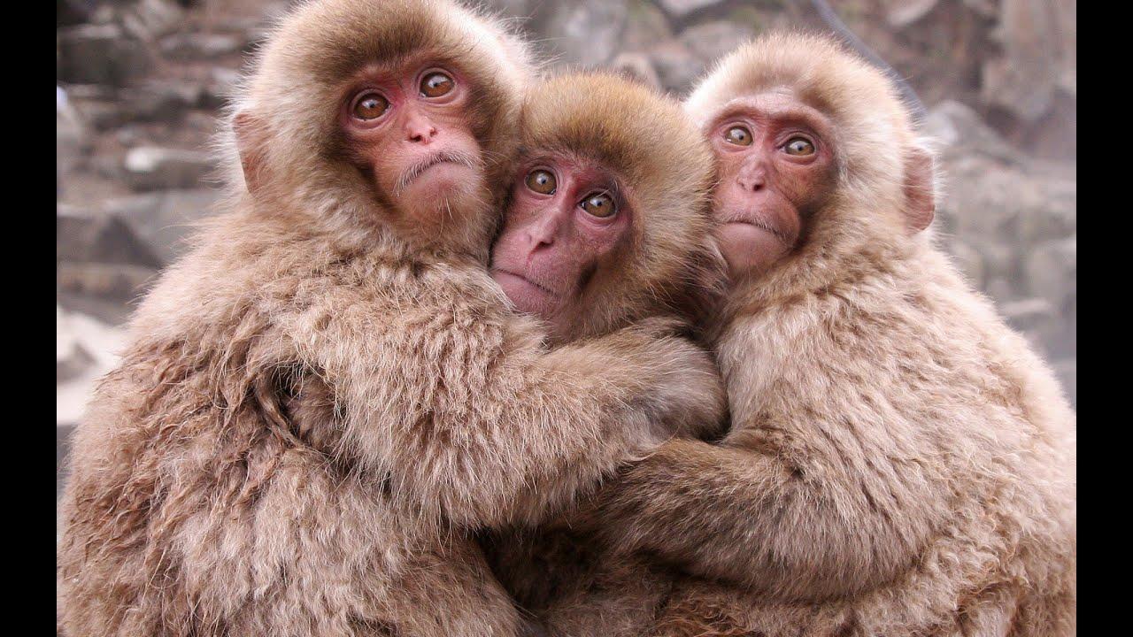 к чему снится очень много обезьян запах может