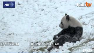 Giant panda plays in the snow at Toronto Zoo