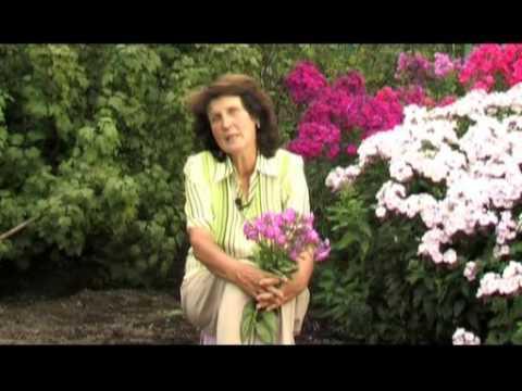 Флоксы. Многолетние цветы.