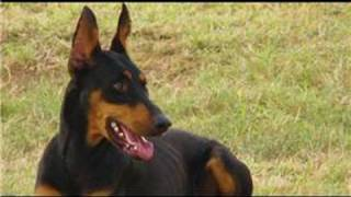 Dog Breeds & Dog Training : How To Care For A Doberman Pinscher