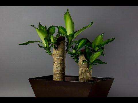 Youtube palo de brasil plantas del mundo youtube for Macetas originales para plantas
