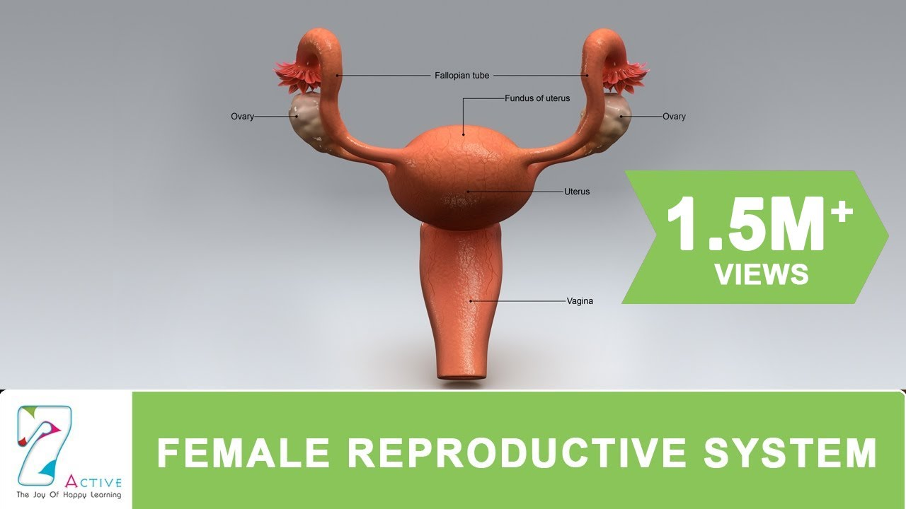 fallopian tube diagram of woman [ 1280 x 720 Pixel ]