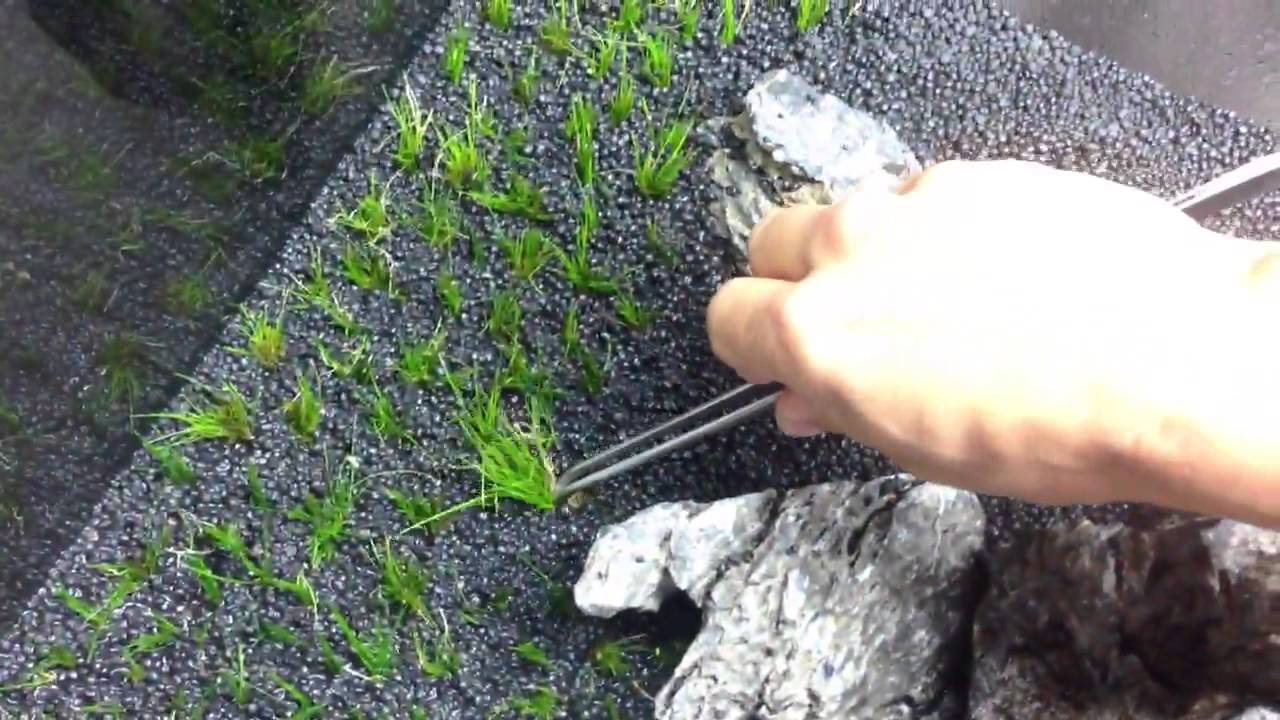 How to plant hairgrass in your Aquascape - YouTube
