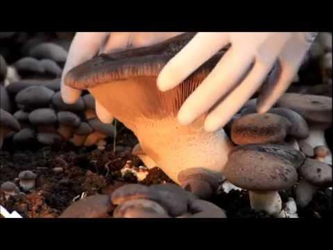 гриб вёшенка королевская