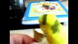 попугай кеша учится говорить(это мой попугай разговаривает., 2013-11-22T16:52:01.000Z)
