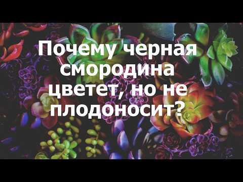 Почему черная смородина цветет, но не плодоносит?