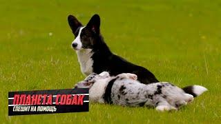 Вельшкорги. Планета собак спешит на помощь  Моя Планета