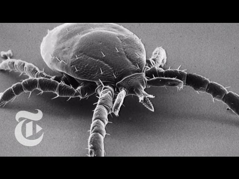 What Makes Ticks Stick? A Mouth Like a Ratchet | The New York Times