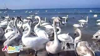 Лебеди в Анапе 17 февраля 2012, центральный пляж(Анапа, центральный пляж, февраль 2012, лебеди. Фото лебедей с этого дня: http://www.anapakurort.info/forum/viewtopic.php?p=137278#137278., 2012-02-27T17:10:27.000Z)
