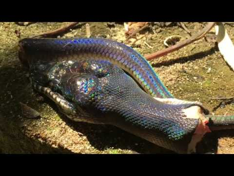 Free Download How To Skin A Snake And Preserve The Hide Mp3 dan Mp4