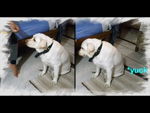Labrador Dog Argues With Human When He Gives Him A Fruit He Doesn't Like (With Dog Commentary)