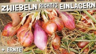 So lassen sich Zwiebeln lange einlagern + Ernte und Sortentipps