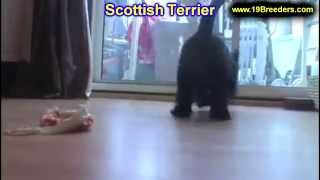 Scottish Terrier, Puppies, For, Sale, In, Green Bay, Wisconsin, WI, Eau Claire, Waukesha, Appleton,