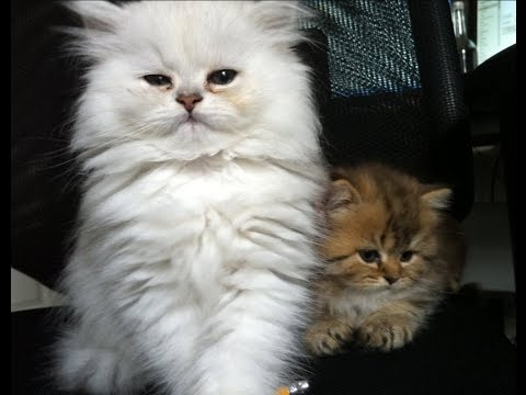 Super cute persian kittens playing with each other