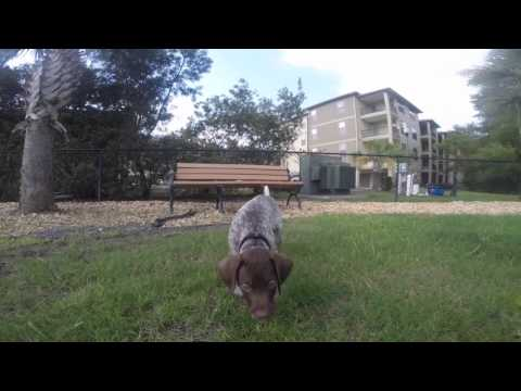 German Shorthaired Pointer Puppy - Copper