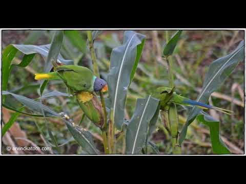 Slaty-headed Parakeet (Himalayan Parrot) HD Pics
