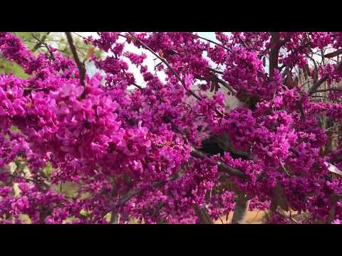 Vivid Eastern Redbud Blossoms This Spring In Oklahoma!