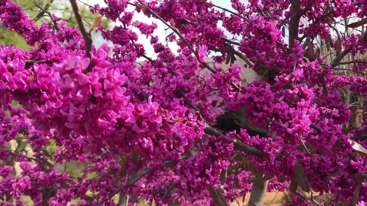 Vivid Eastern Redbud Blossoms This Spring In Oklahoma Youtube