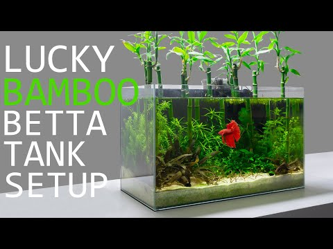 Building A Lucky Bamboo Betta Aquarium!